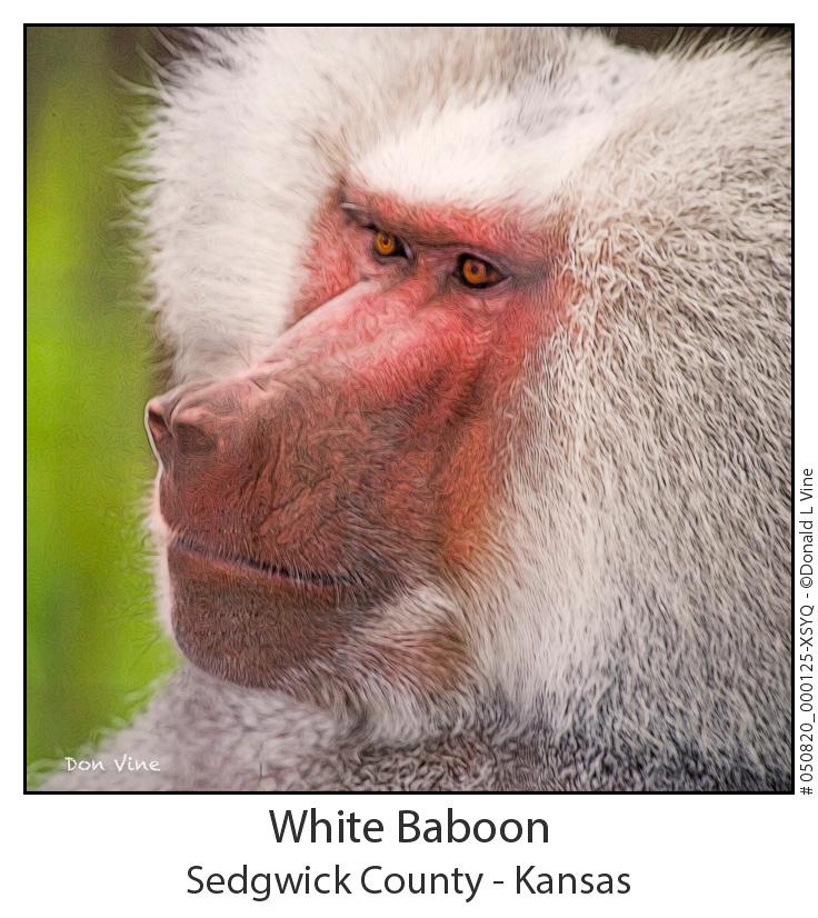 White Baboon_050820_000125-XSYQ