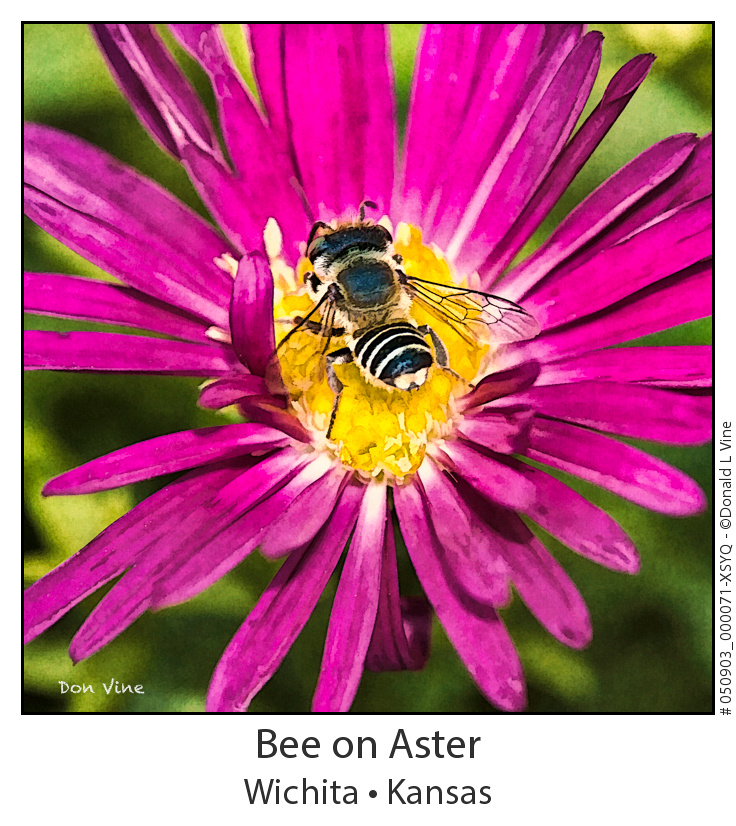 Bee on Aster_050903_000071-XSYQ