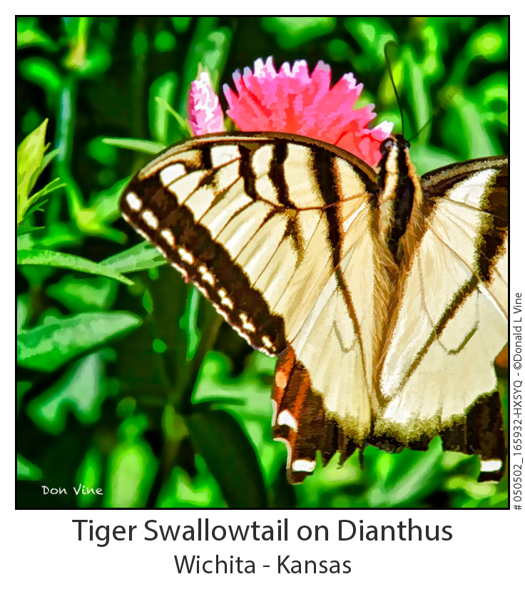 Tiger Swallowtail on Dianthus_050502_165932-HXSYQ