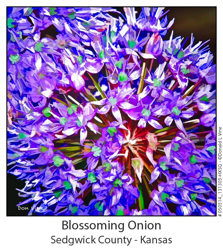 Blossoming Onion_050514_131305-HXSQ