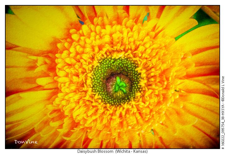 Daisybush Blossom_160222_095754_38-HXSYA