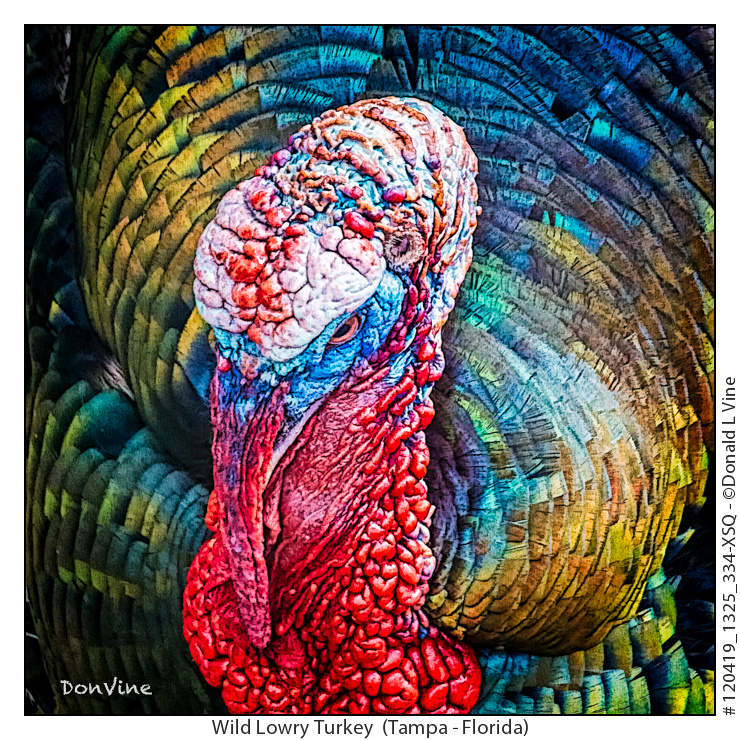 Wild Lowry Turkey_120419_1325_334-XSQ