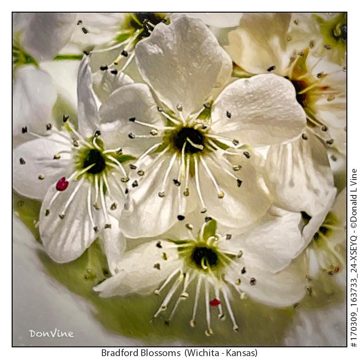Bradford Blossoms_170309_163733_24-XSEYQ